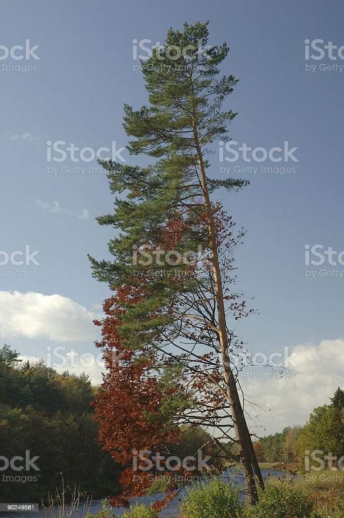 pine tree at a river bank royalty-free stock photo