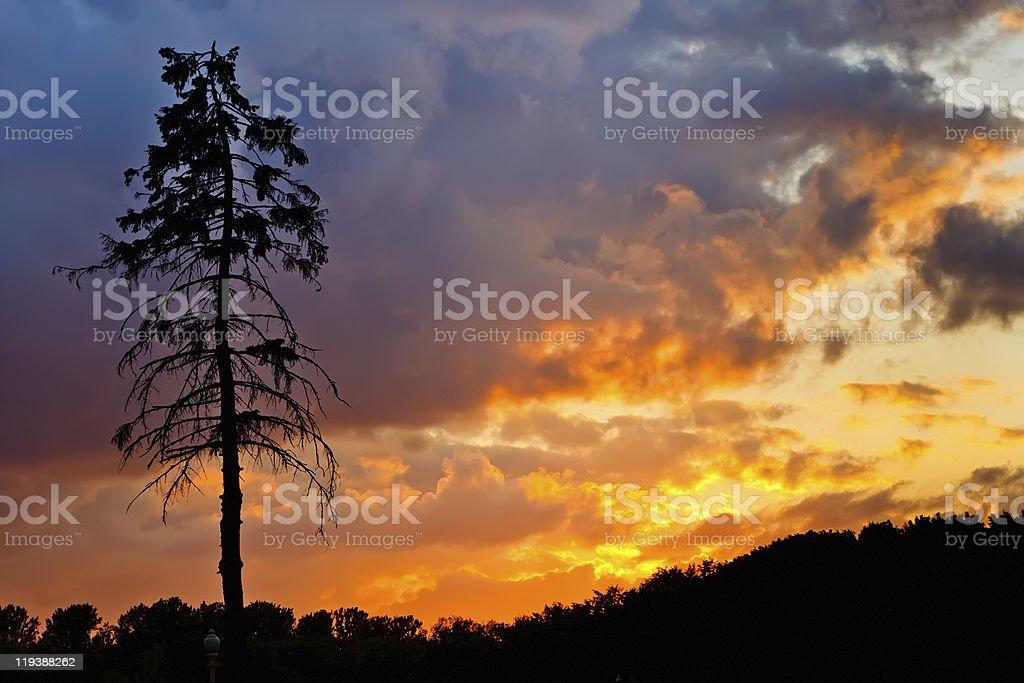 Pine tree at sunset stock photo