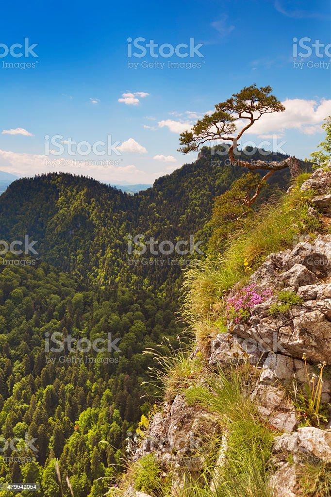 Pine tree at the Dunajec Canyon on the Polish border stock photo