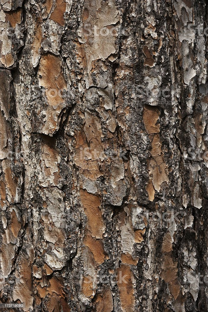 Pine tree bark close-up royalty-free stock photo