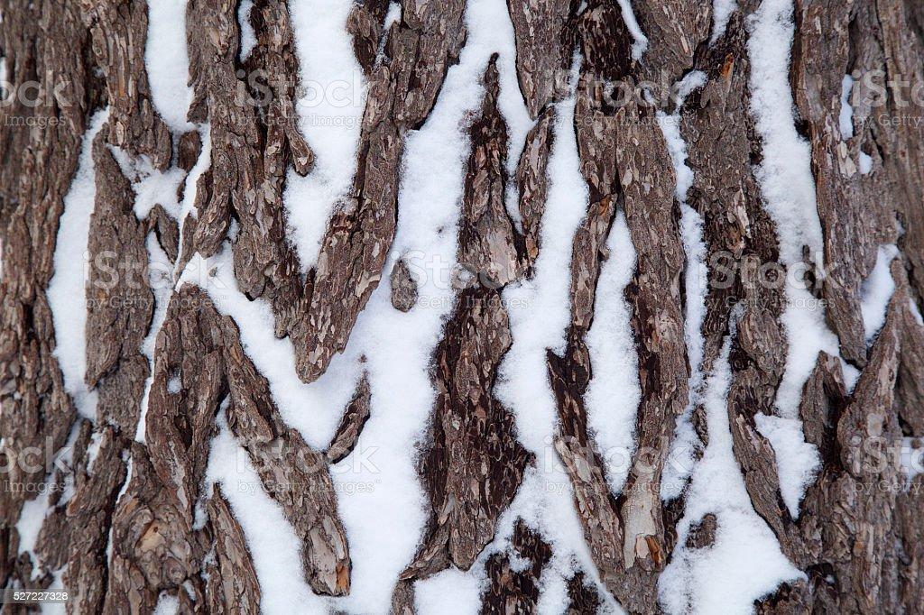 pine tree bark in the winter stock photo