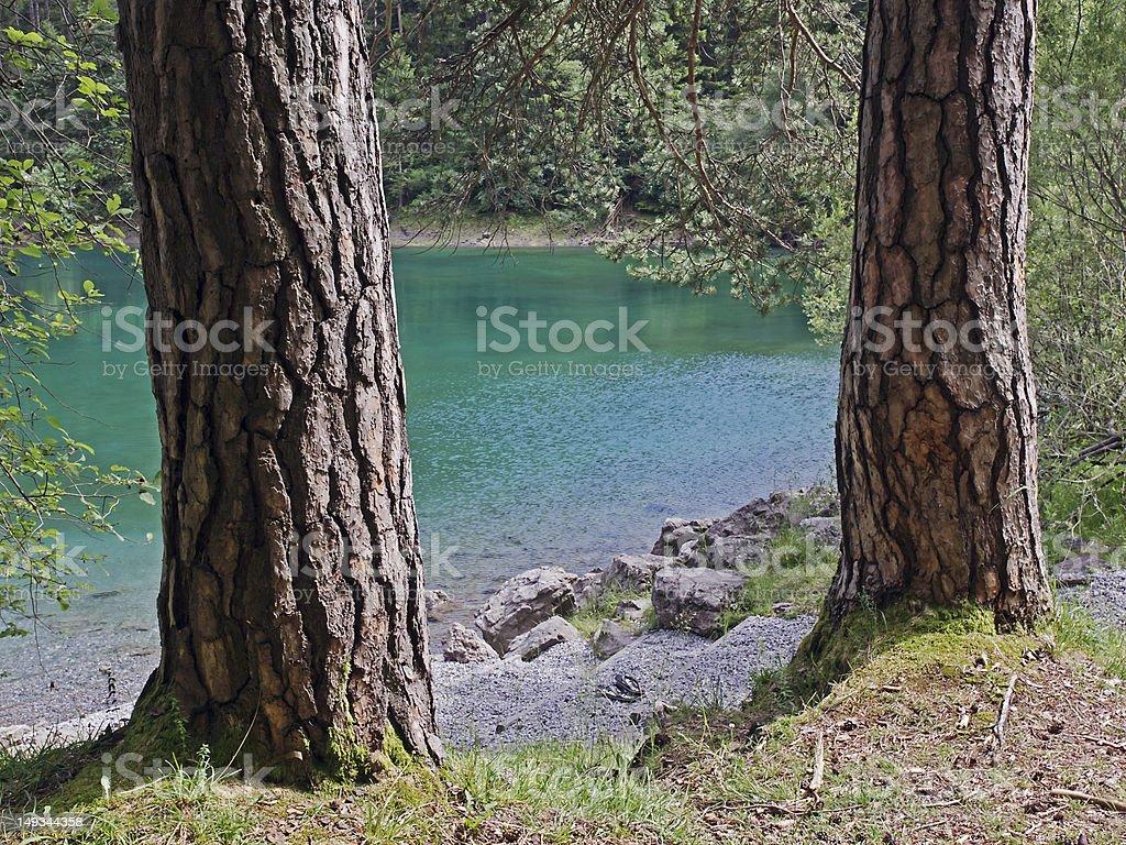 Pine tree bark royalty-free stock photo