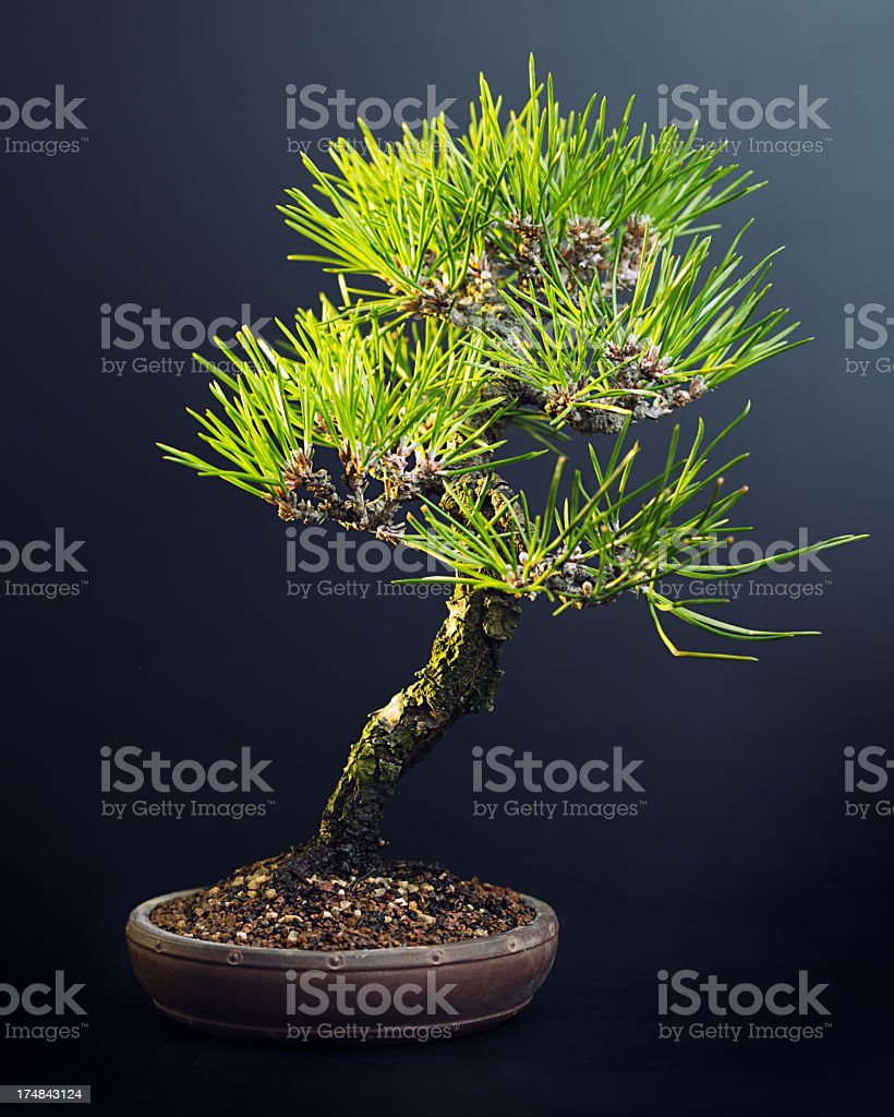 Pine tree bonsai royalty-free stock photo