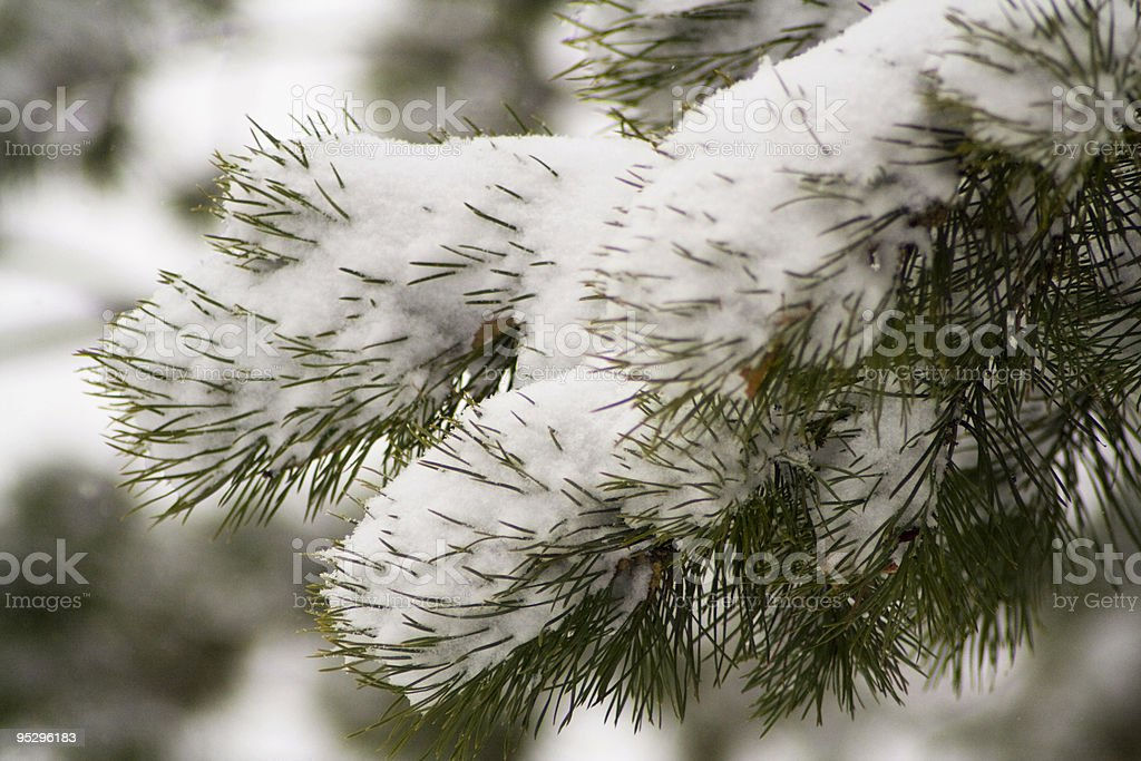 Pine tree branch 3 stock photo