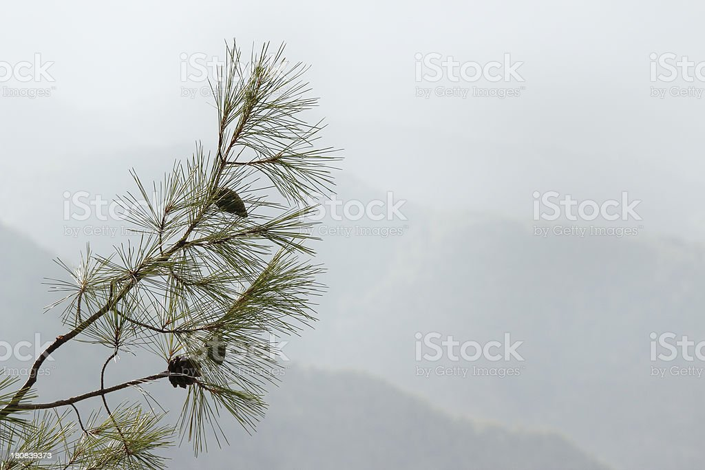 pine tree branch against morning foggy Troodos cypriate mountains  Cyprus stock photo