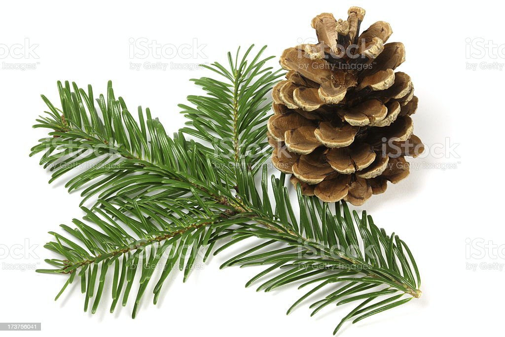 Pine Tree Branch and Cone royalty-free stock photo