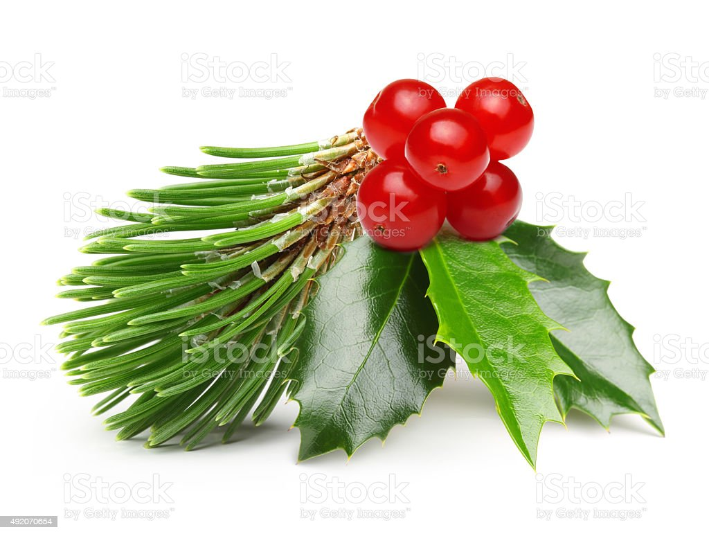 Pine tree branch and Holly berry leaves stock photo