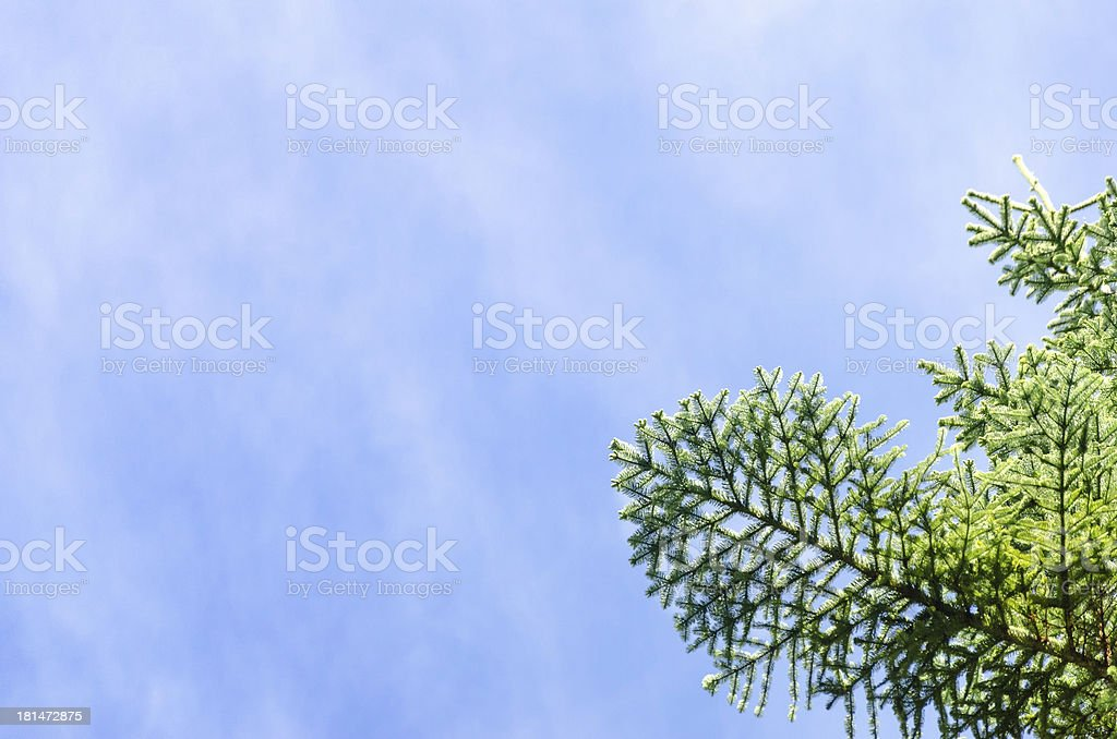 Pine Tree Branch and Sky royalty-free stock photo