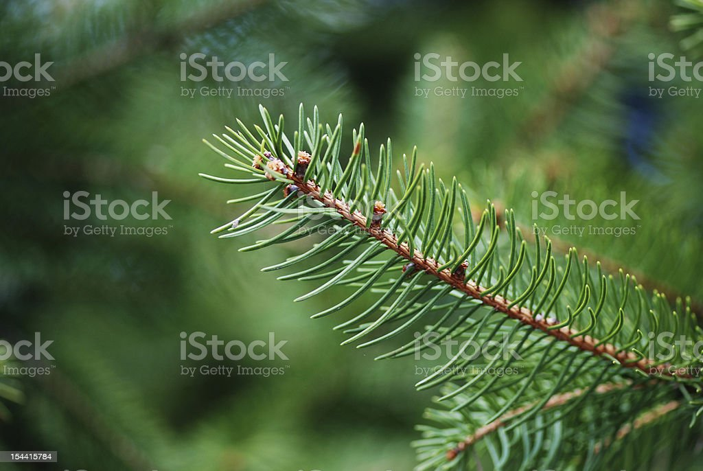 Pine tree branch close up macro defocussed royalty-free stock photo