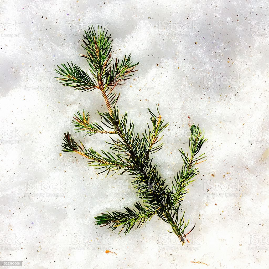 Pine tree branch in snow stock photo