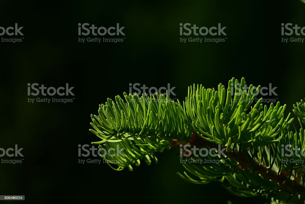 Pine tree branch of fir needles isolated at black background royalty-free stock photo