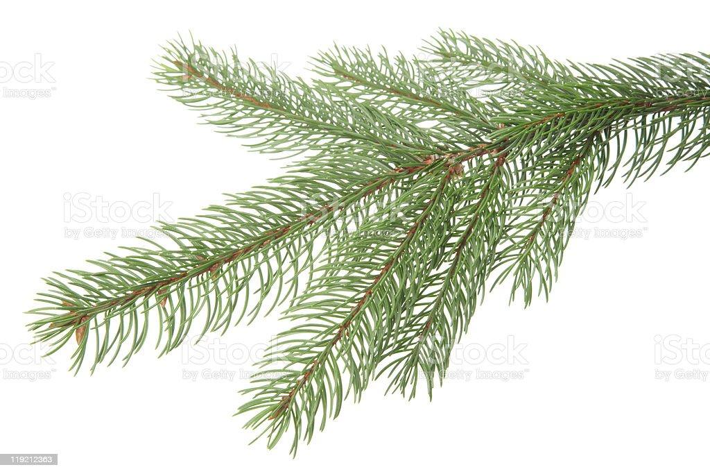 pine tree branch royalty-free stock photo