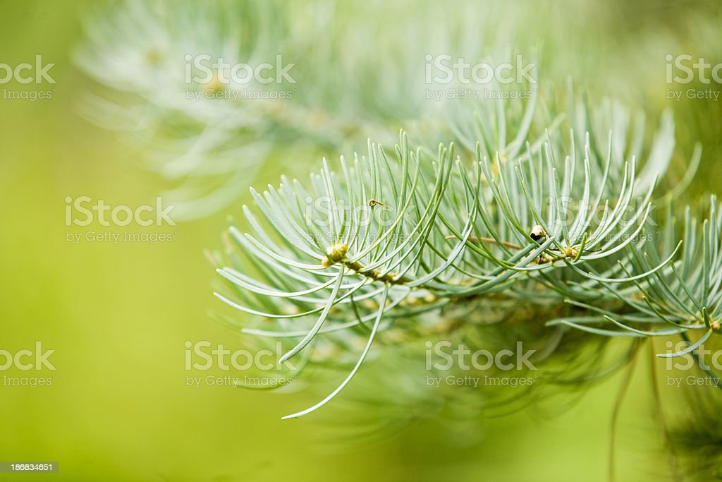 Pine Tree Branch stock photo