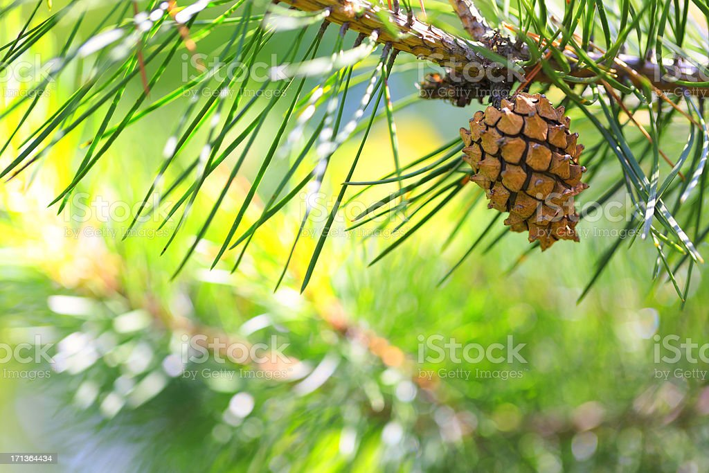 Pine tree branch with one cone stock photo
