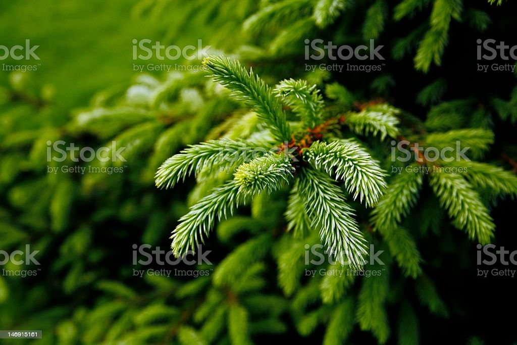 Pine tree branch with prickly green needles stock photo