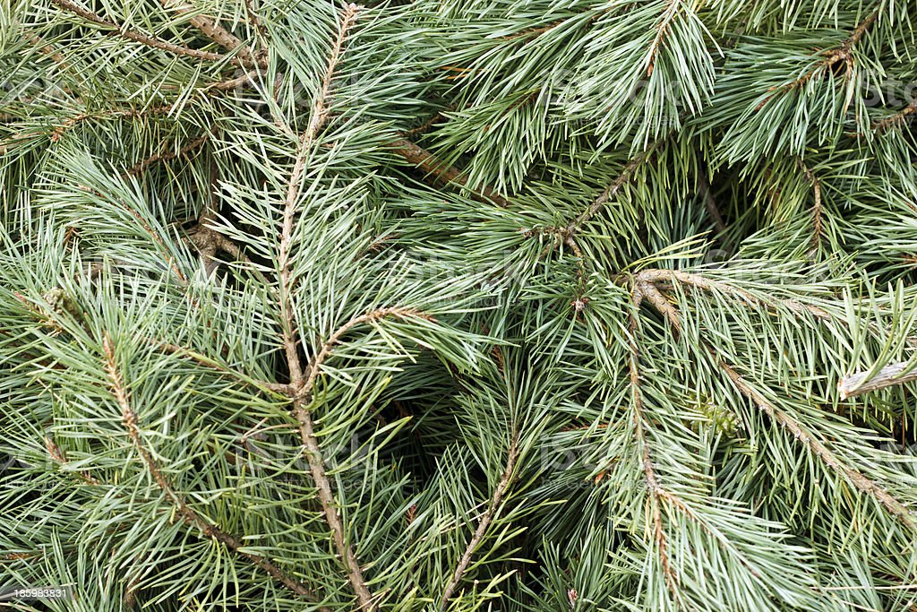 Pine tree branches close stock photo