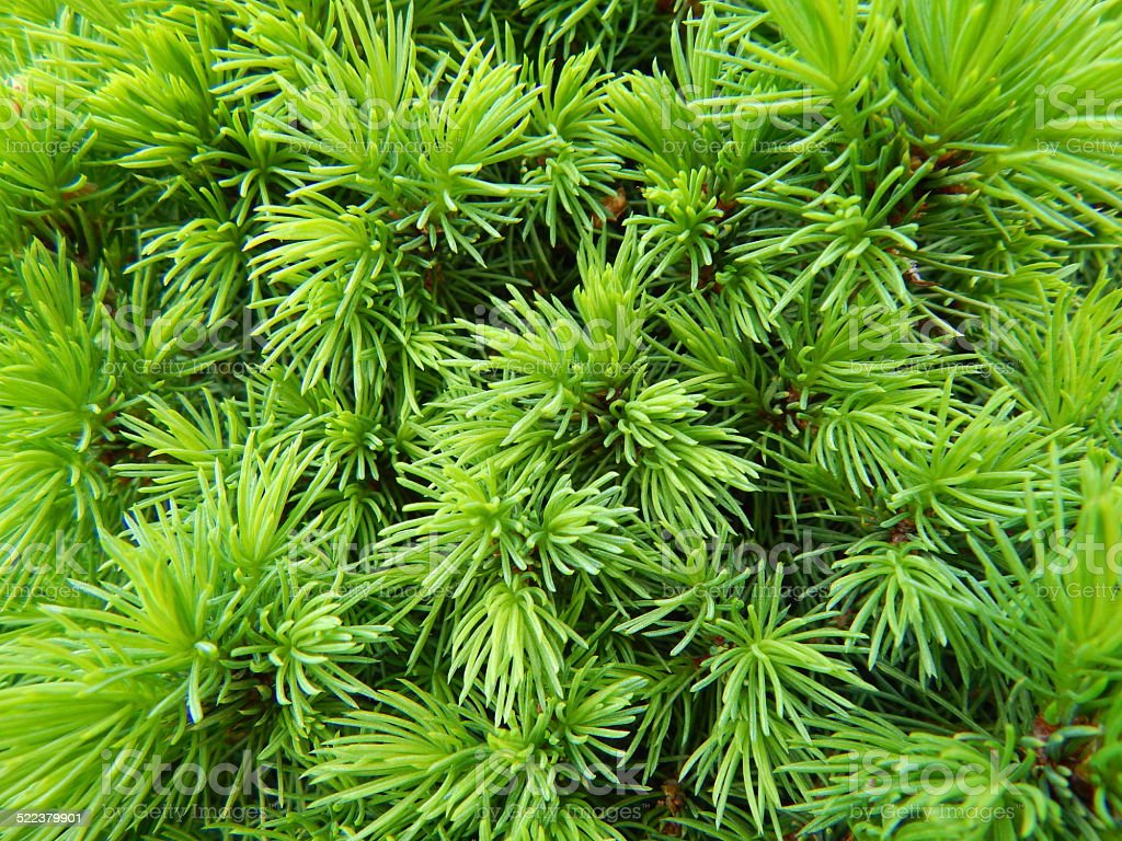 Pine tree branches royalty-free stock photo