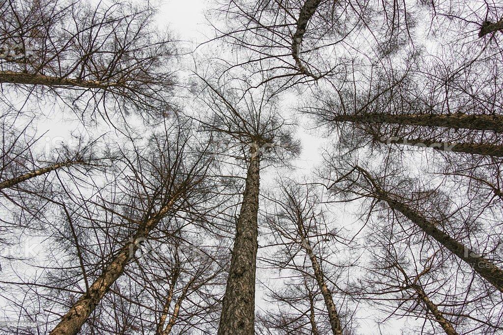 Pine Tree branches silhouette in Hokkaido park stock photo