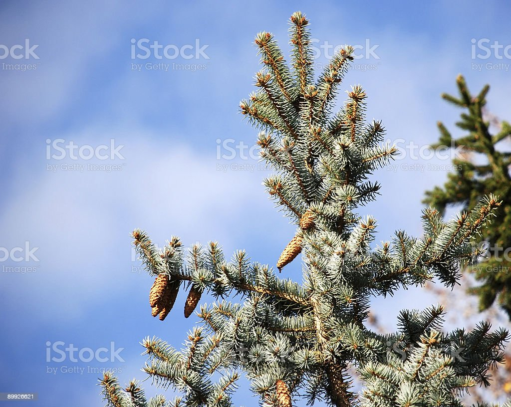 pine tree branches with cones stock photo