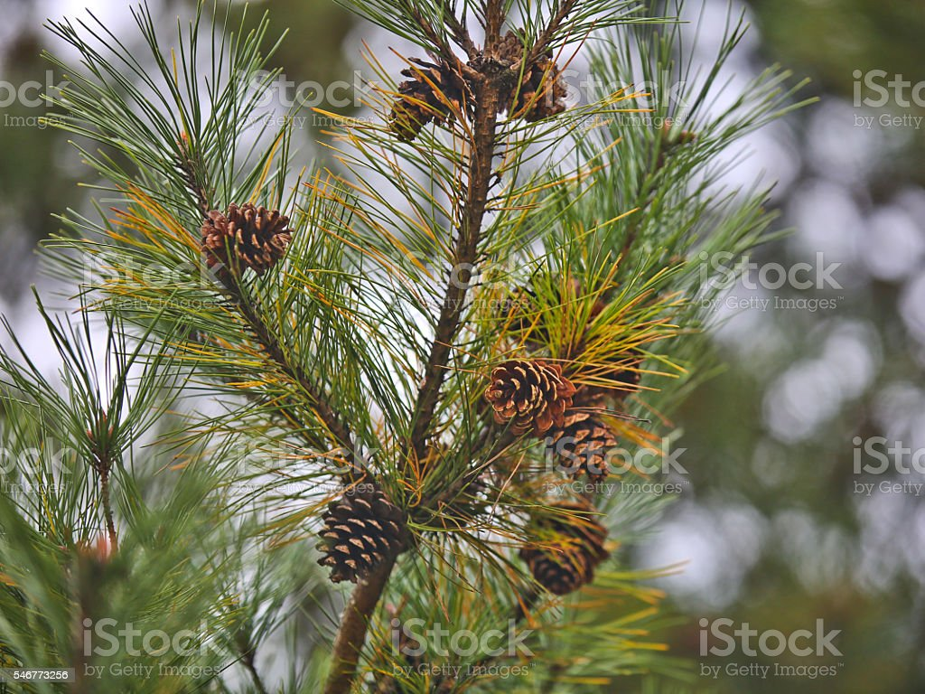 Pine Tree Branches with Pine Cones stock photo