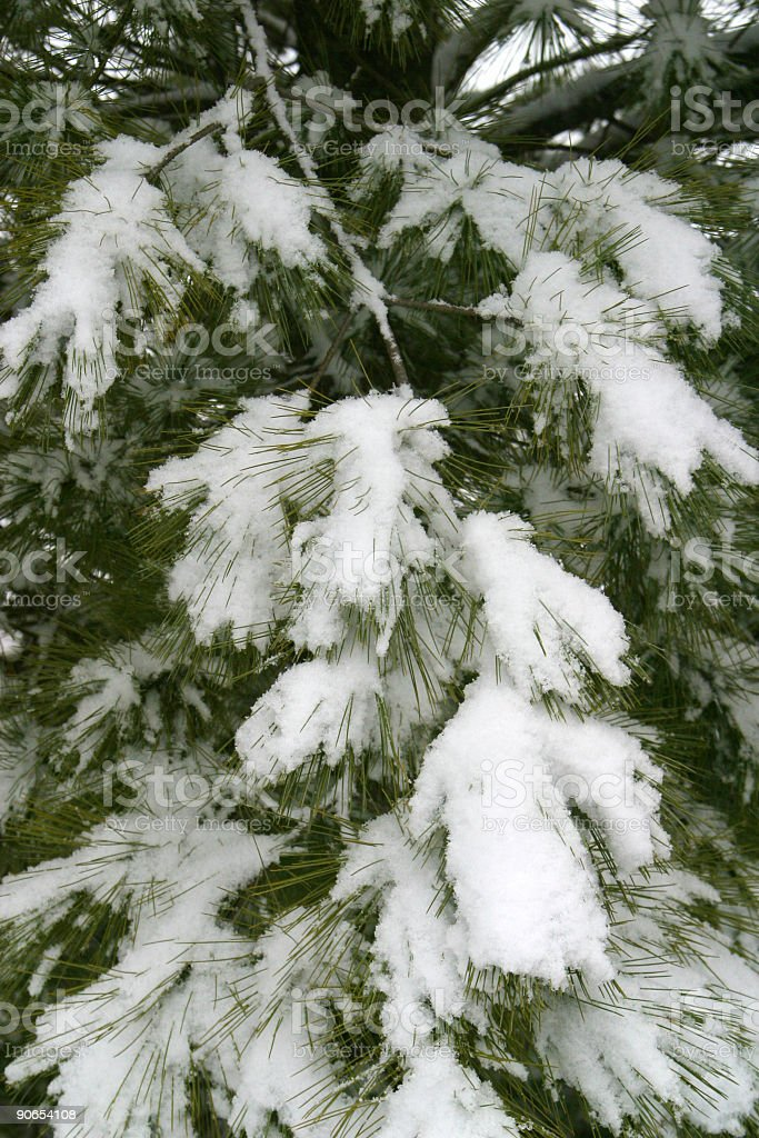 Pine Tree Branches With Snow royalty-free stock photo