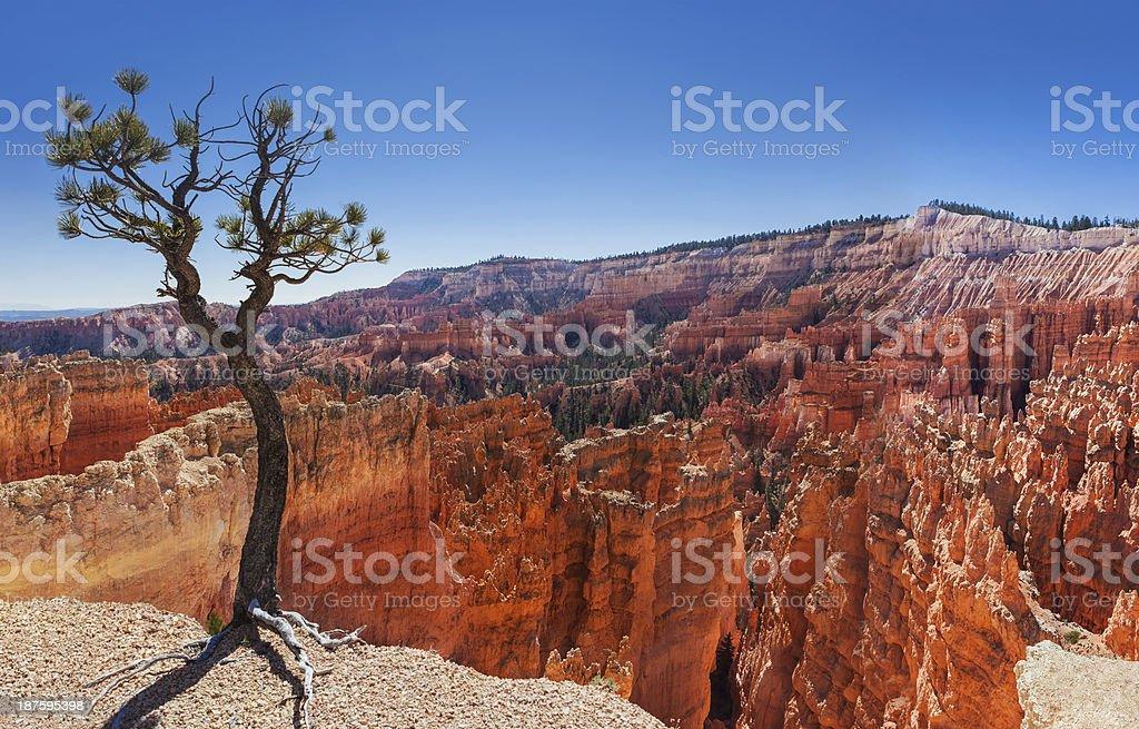 Pine Tree & Bryce Canyon royalty-free stock photo