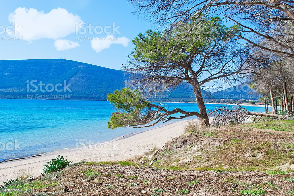 pine tree by the foreshore stock photo