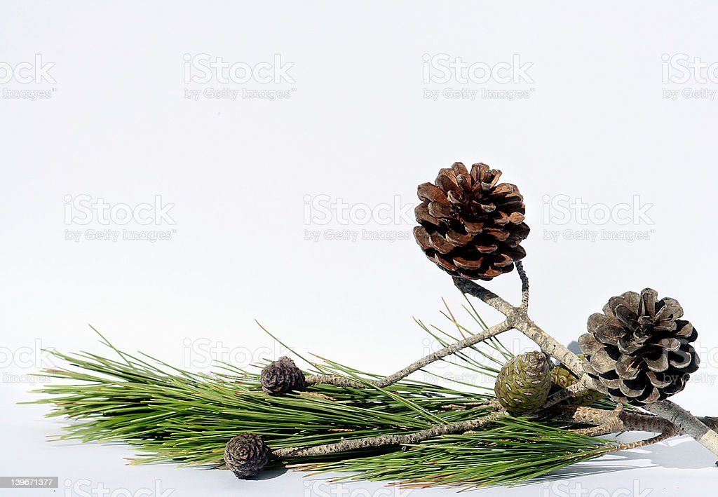 Pine tree composition stock photo