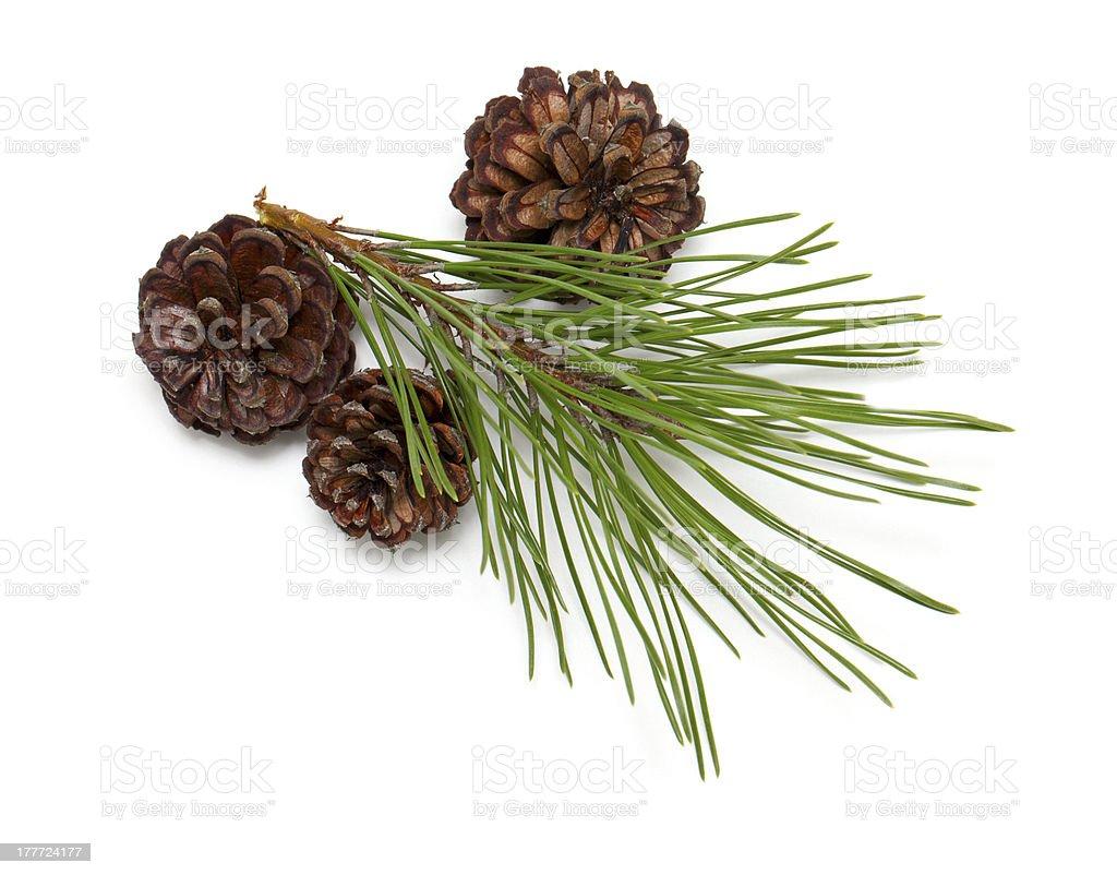 pine tree cones isolated on white background stock photo