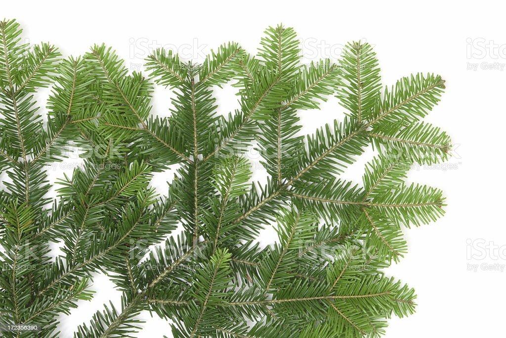 Pine Tree Detail royalty-free stock photo