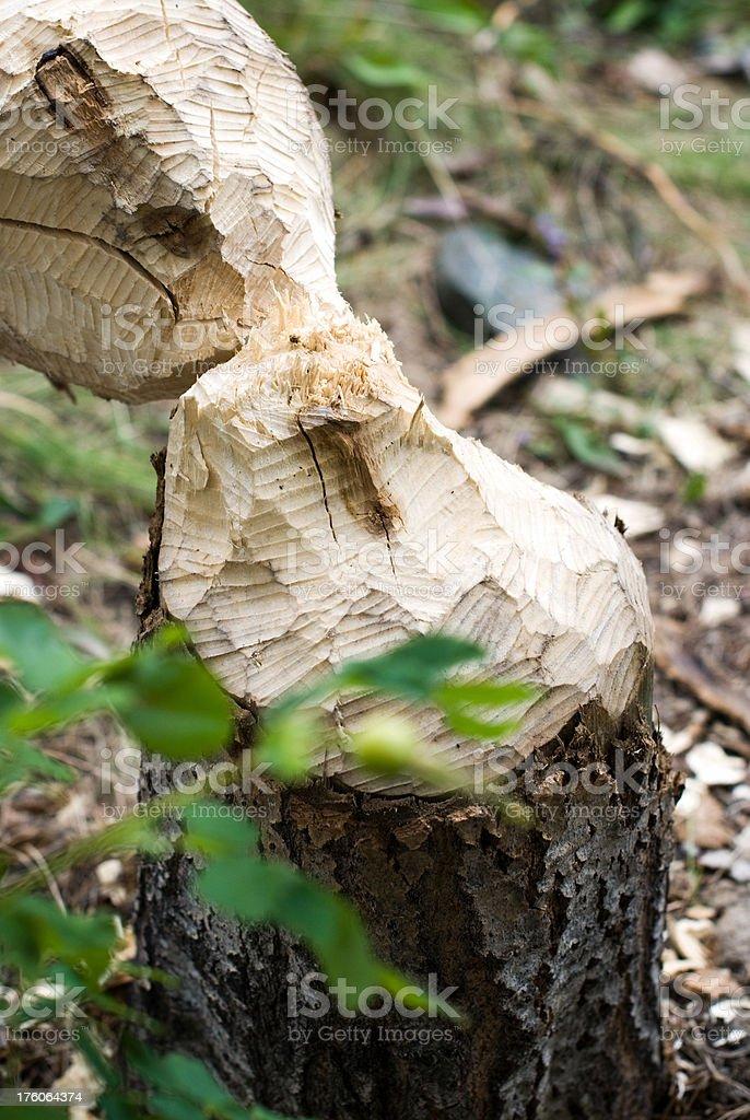 Pine tree eaten by beavers royalty-free stock photo