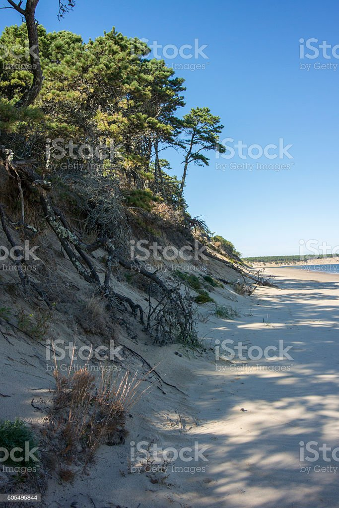 Pine Tree Exposed Roots in Sand Dune stock photo