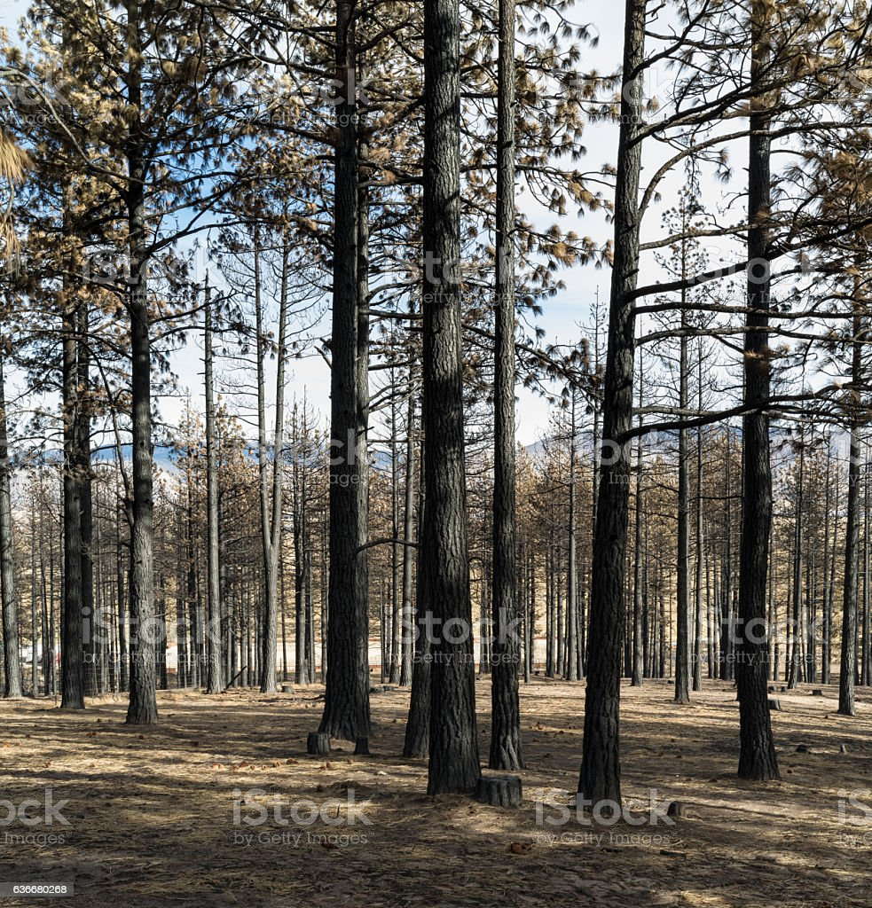 Pine tree forest after a fire closeup view. stock photo