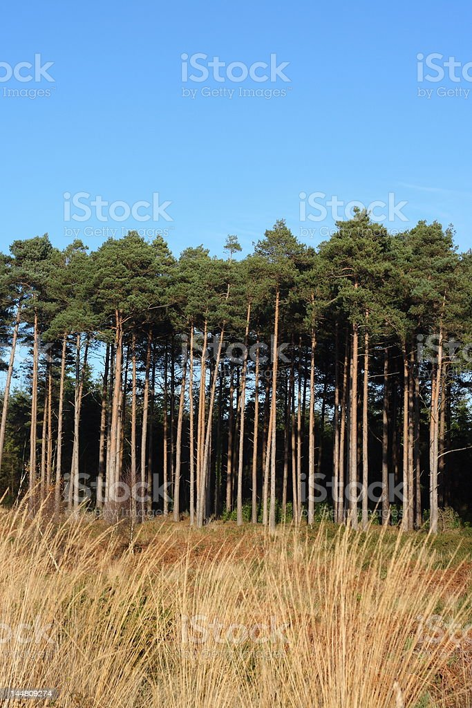 Pine tree forest and blue sky royalty-free stock photo