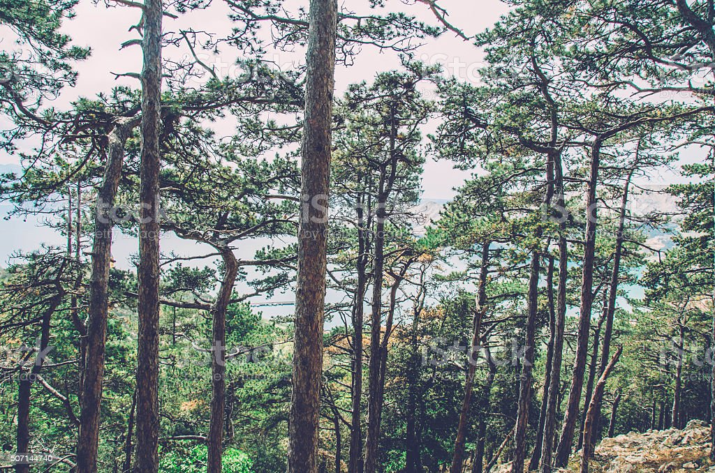 Pine tree forest by the Adriatic sea stock photo