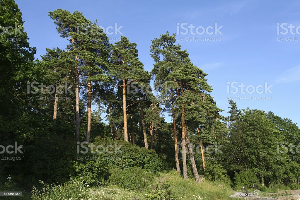 Pine tree forest in Oslo royalty-free stock photo