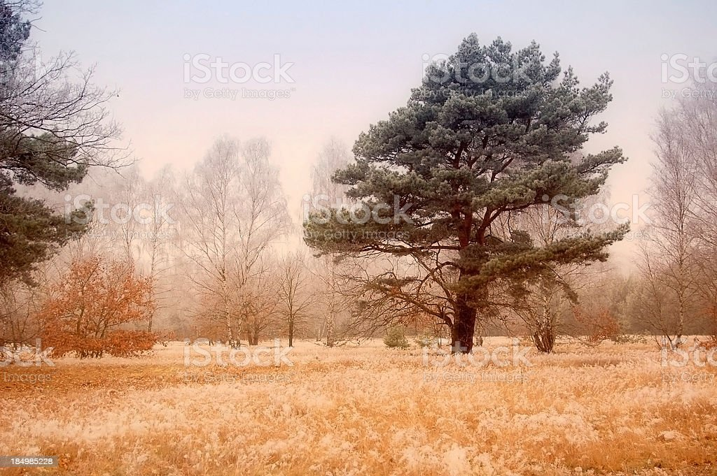 pine tree forest in winter landscape at meadow (Brandenburg Germany) stock photo