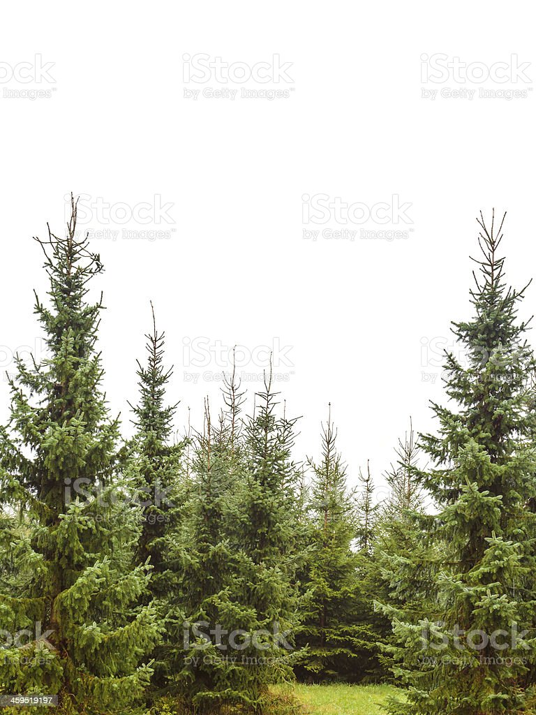 Pine tree forest isolated on white stock photo