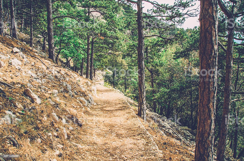 pine tree forest path stock photo