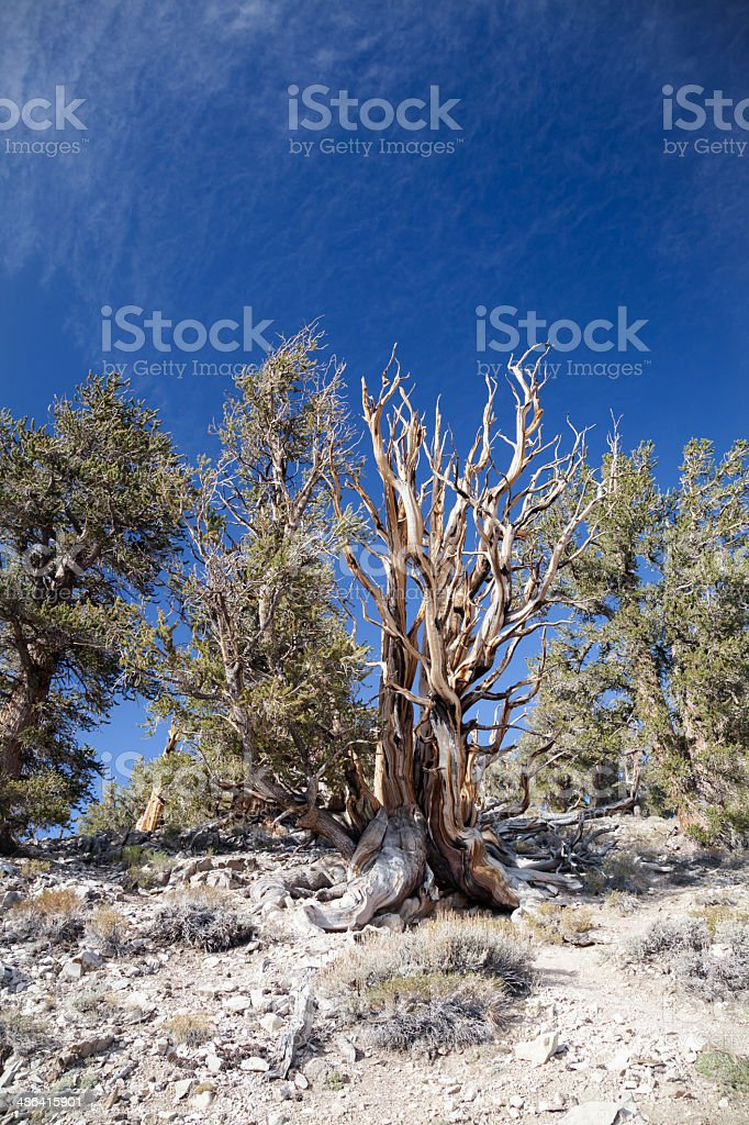 Pine Tree Forest stock photo