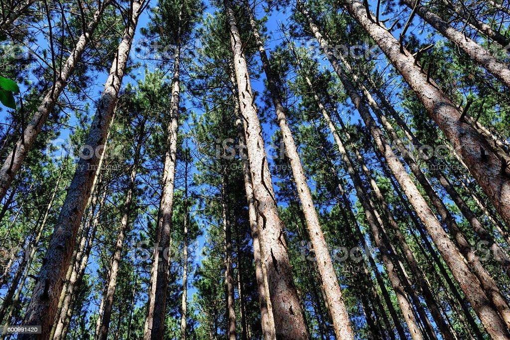 Pine tree forest,  Saugatuck Dunes State Park stock photo