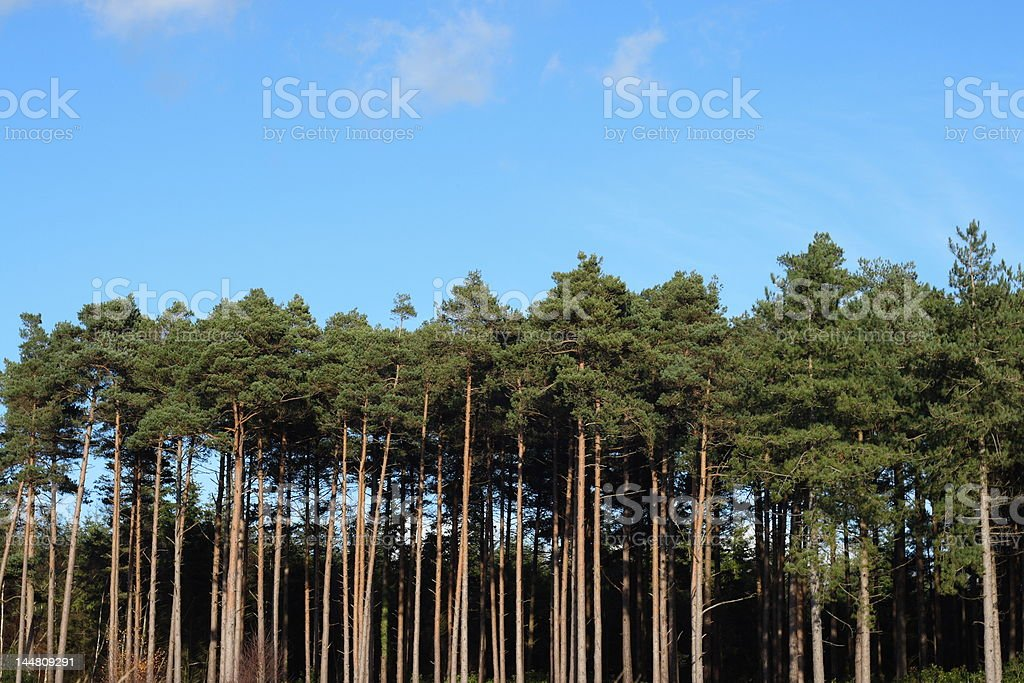 Pine Tree Forrest royalty-free stock photo