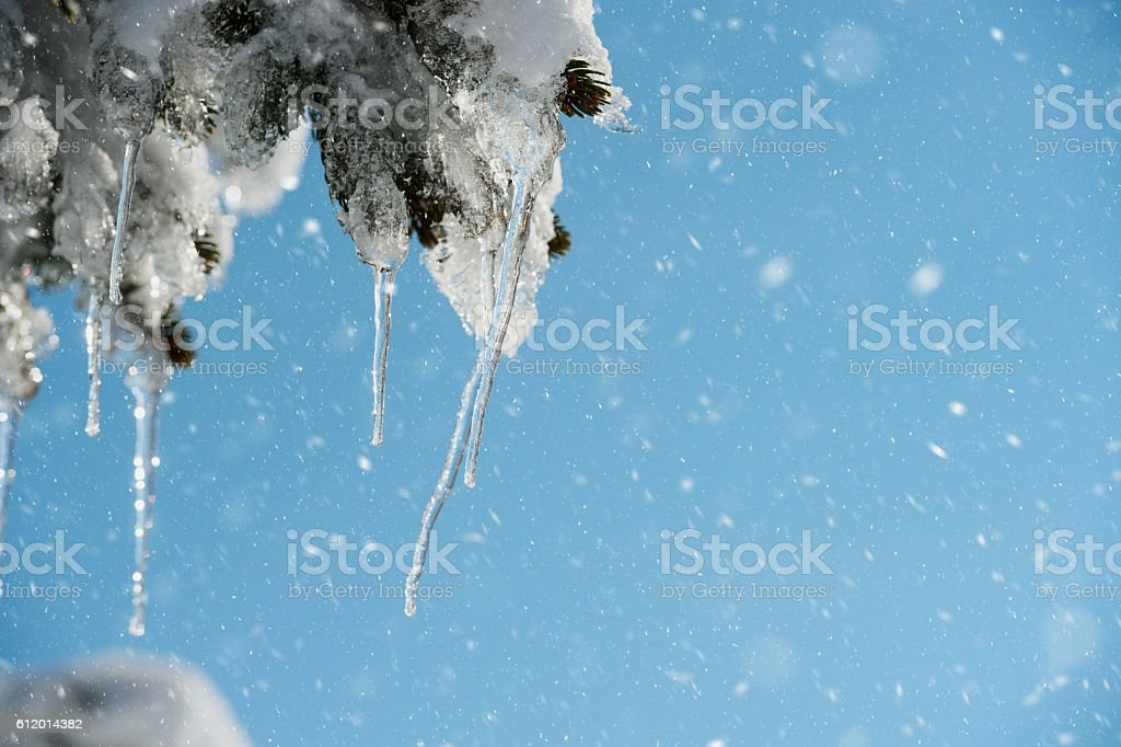 Pine tree icicles stock photo
