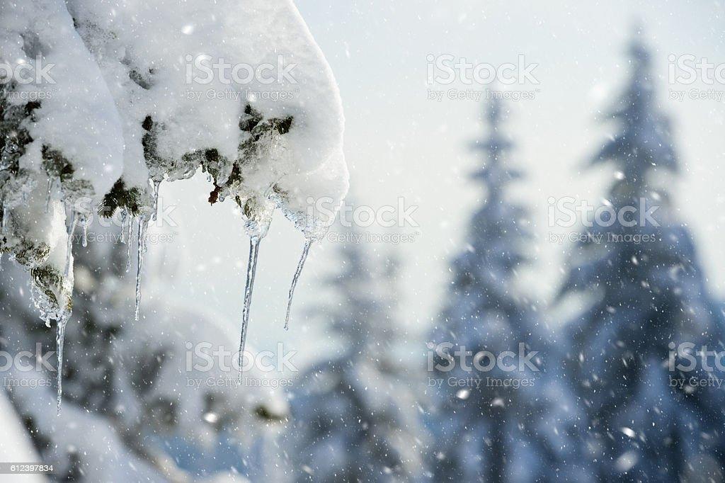 Pine tree icicles stock photo