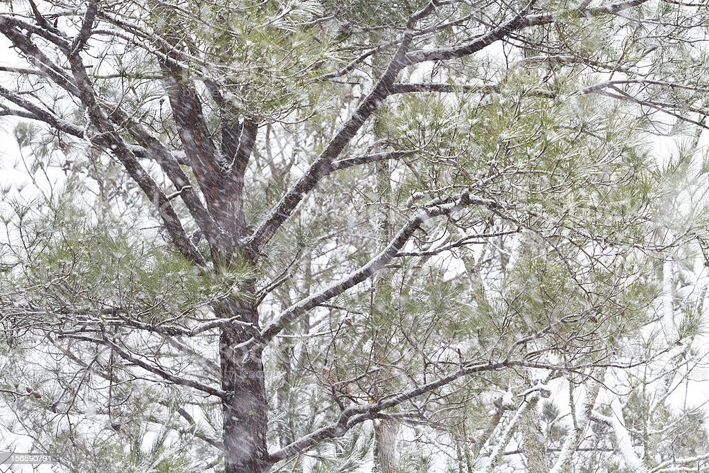 Pine Tree In A Heavy Southern Snow Storm stock photo