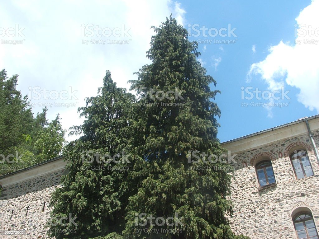 Pine Tree in Front of Facade stock photo