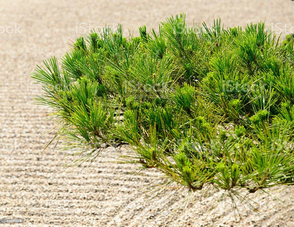 pine tree  in  garden stock photo