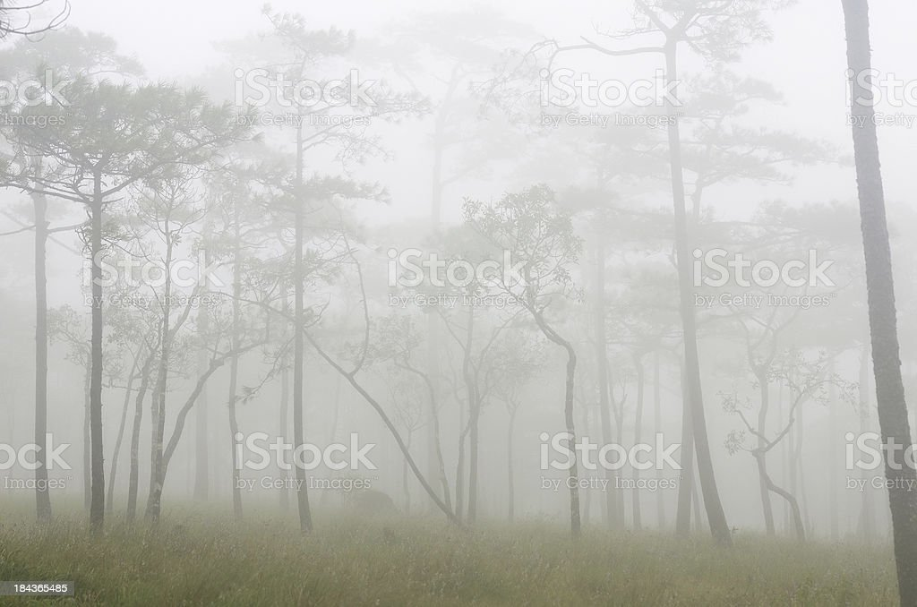 Pine tree in mist royalty-free stock photo