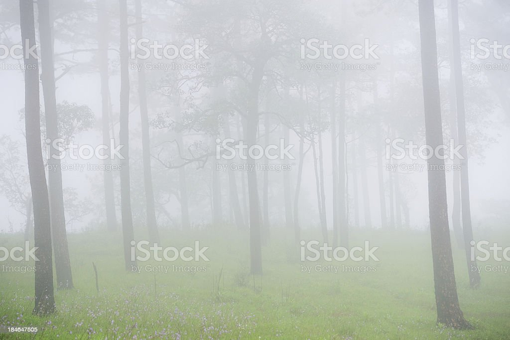 Pine tree in mist royalty-free stock photo