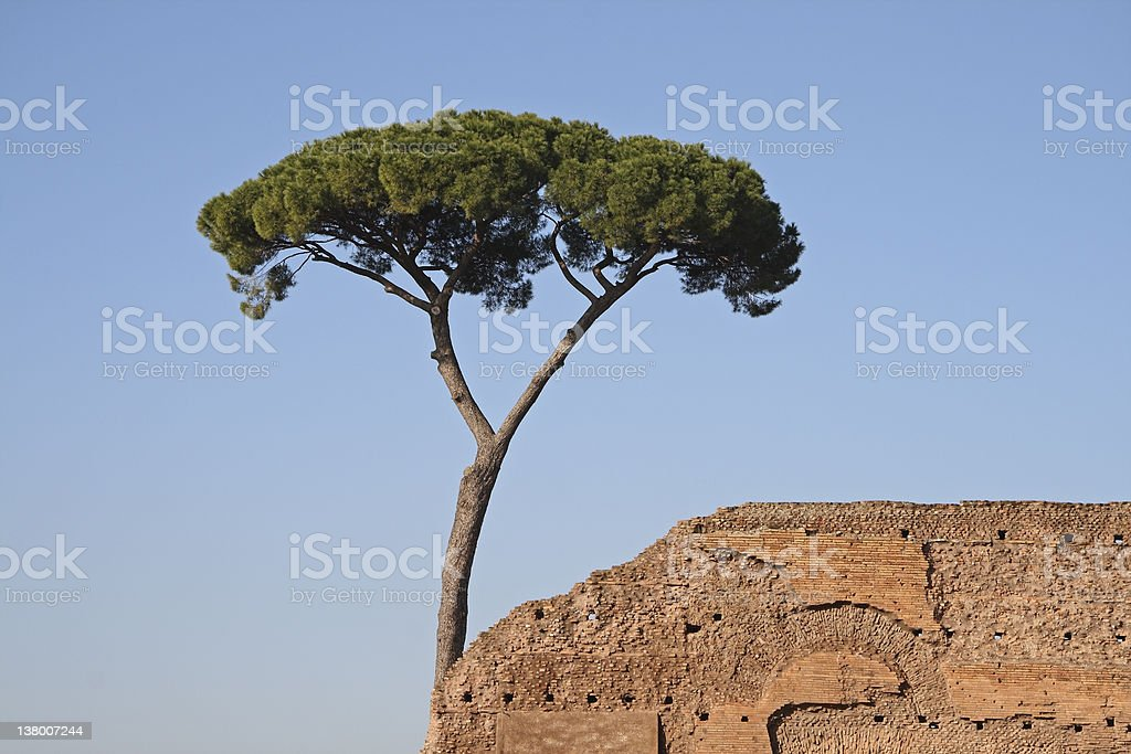 Pine Tree in Rome. stock photo